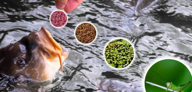 What To Feed A Fish When Out Of Fish Food